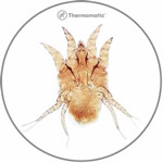 Cnemidocoptes ssp, Dermanyssus spp, Sternostoma